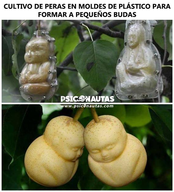 Cultivo de peras en molde