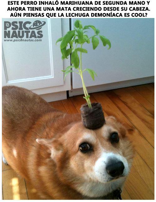 Este perro inhaló marihuana de segunda mano…